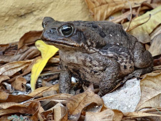 Aruba Toad