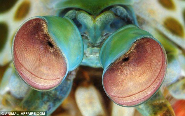 Camarão Mantis - iG Colunistas – O Buteco da Net » Difícil de ver: Fotos revelam alguns dos olhos mais fantásticos do mundo animal
