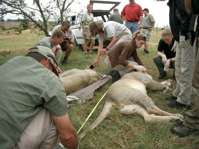 Volunteer to work with a wildlife veterinarian in Africa