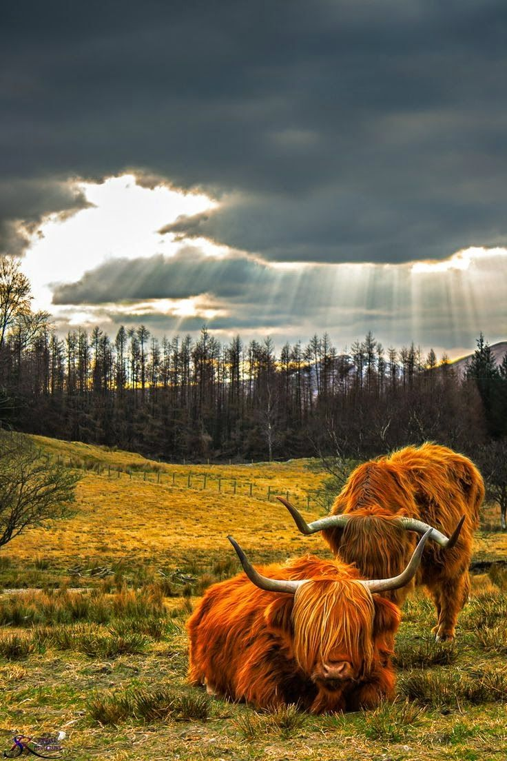 260 best highlands images on pinterest highland cattle scottish