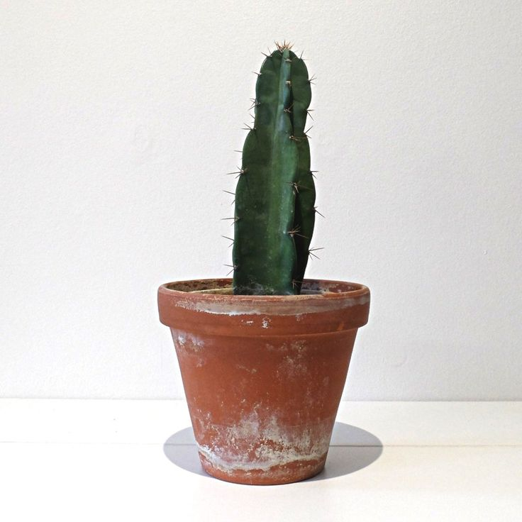 Cereus Peruvianus via RECYCLED PLANTS. Click on the image to see more!