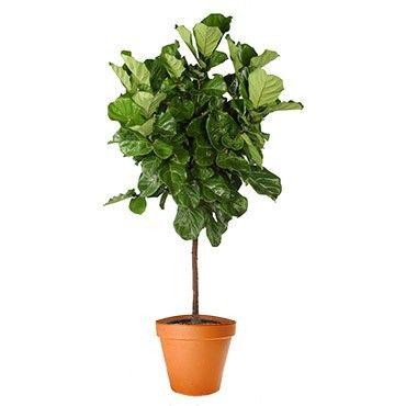 Ficus Lyrata Tree - Indoor Plant Delivery NYC - plantshed.com
