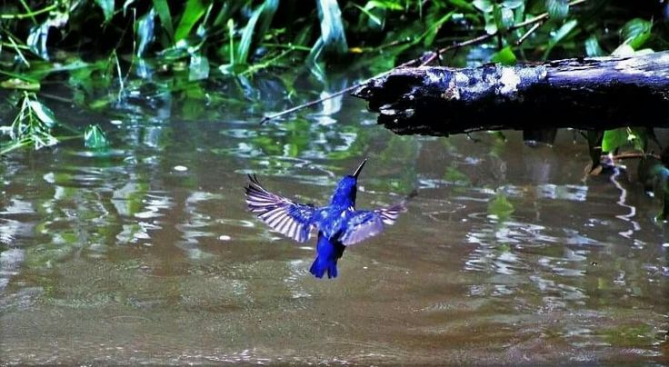 Kingfisher bird, Eungella