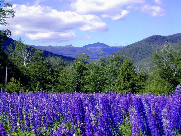 Field of Lupine in the Mount Washington area in New Hampshire..gorgeous!!
