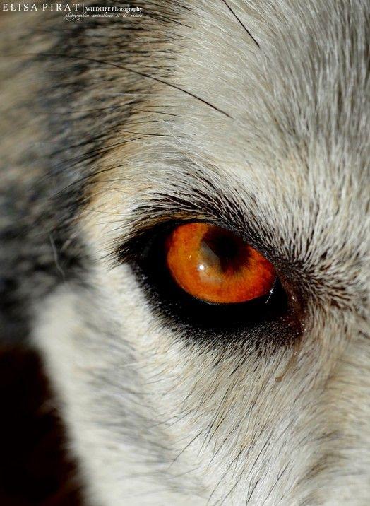 что цвет волчьих глаз фото его помощью