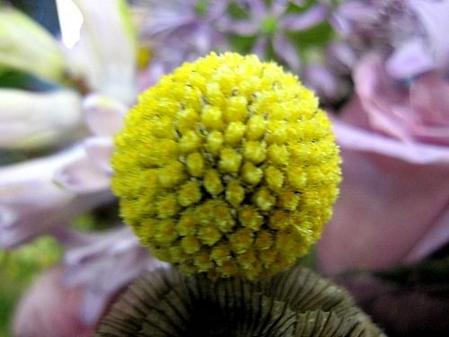 Billy ball flower of the week by echelon florist billy ball flower of the week mightylinksfo