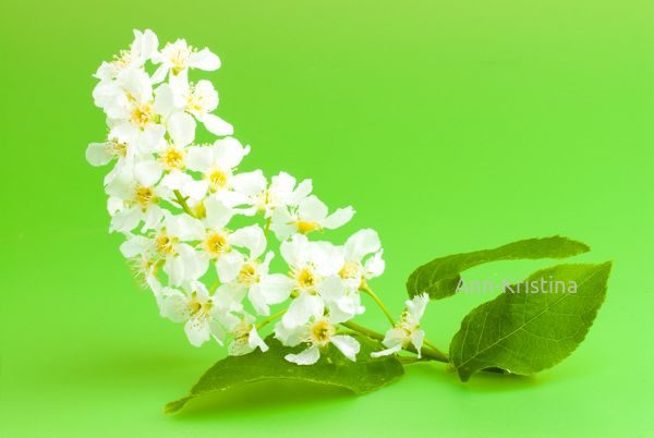 Ann-Kristina Al-Zalimi, Prunus padus, tuomi, hägg, bird cherry, hackberry, flora