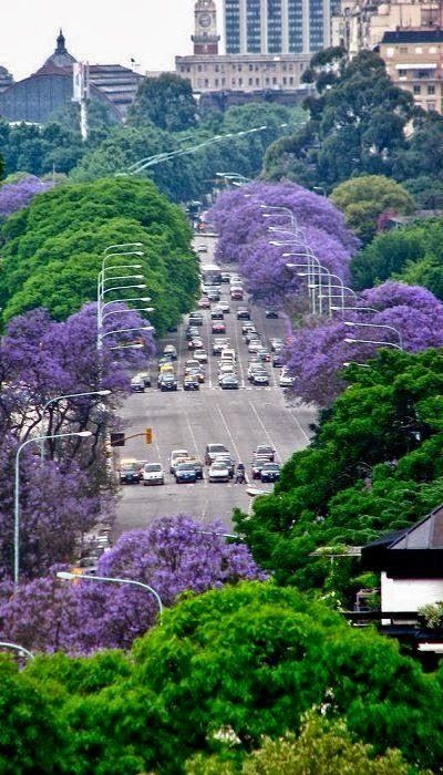Arboles de Jacarandas y su distintivos color purpura en la Ciudad de Buenos Aires, Argentina/ Jacaranda trees and their distinctive purple colour in Buenos Aires City during summer time.