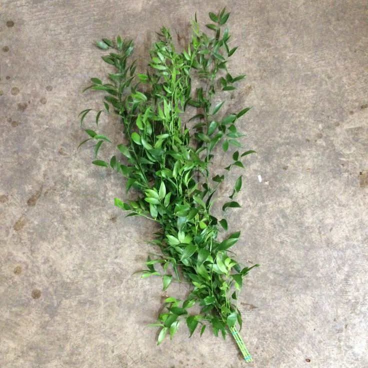 Soft Ruscus...Available from the Flowermonger the wholesale floral home delivery service