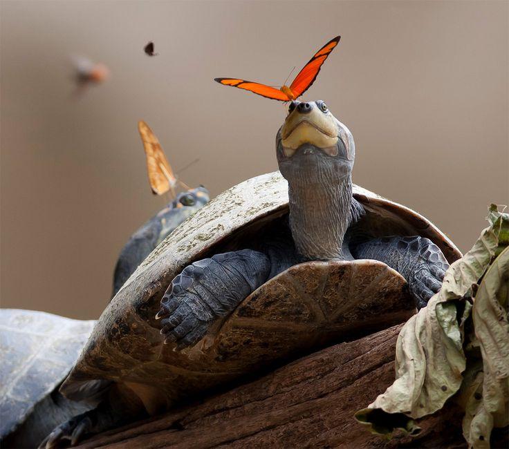 O jacaré-do-pantanal foi flagrado com borboletas coloridas pousadas em sua cabeça por um pesquisador dos EUA em visita à América do Sul
