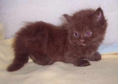 Munchkin Zwergkatze #munchkinkittens   – cat breeds