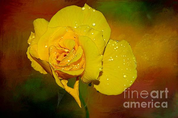 #SUMMER #ROSE by #Kaye #Menner #Photography Quality Prints Cards and more can be purchased at: http://kaye-menner.artistwebsites.com/featured/summer-rose-by-kaye-menner-kaye-menner.html