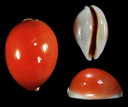 Lyncina aurantium - Very large!   (100.6mm)