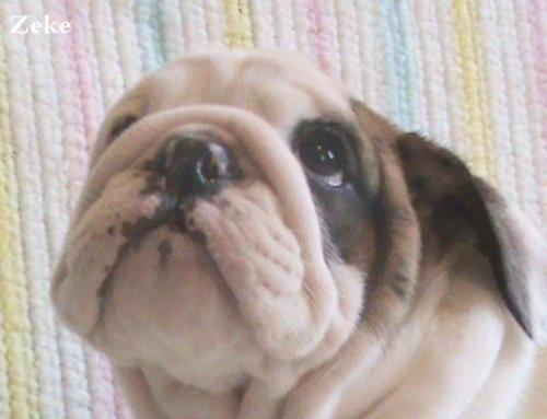 429 best Bull Dogs images on Pinterest | English bulldogs ...