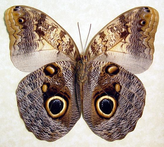 Real Framed Large Real Owl Butterfly Caligo by REALBUTTERFLYGIFTS
