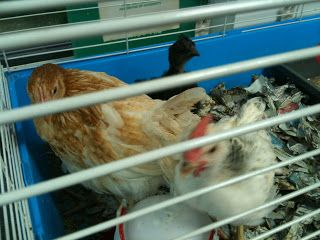 We are starting to keep chickens