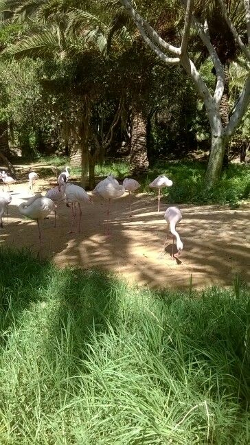 Fenicotteri rosa, Oasis Park, Fuerteventura.