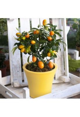 It blooms in the summer and it just makes it different. The kumquat is not only liqueur or sweets from Corfu. It is a citrus fruit that you can easily have it in the house or on your balcony. www.floraison.gr