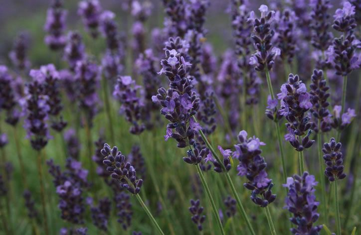 how to grow lavender in ontario canada