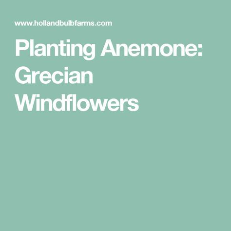 Planting Anemone: Grecian Windflowers