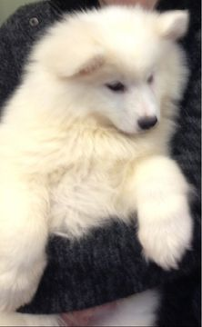 Samoyed puppy for sale in EVANS MILLS, NY. ADN-26277 on PuppyFinder.com Gender: Female. Age: 14 Weeks Old