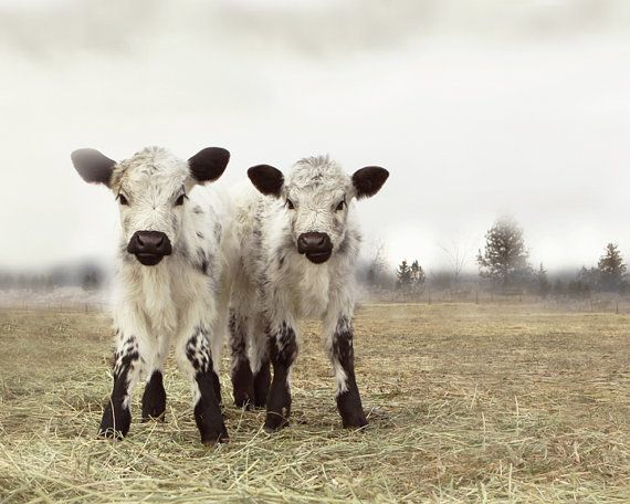 Cow Art White Twin Calves    -French Country-  by lucysnowephotography Etsy