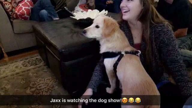 Jaxx watching the dog show on Thanksgiving😂😂