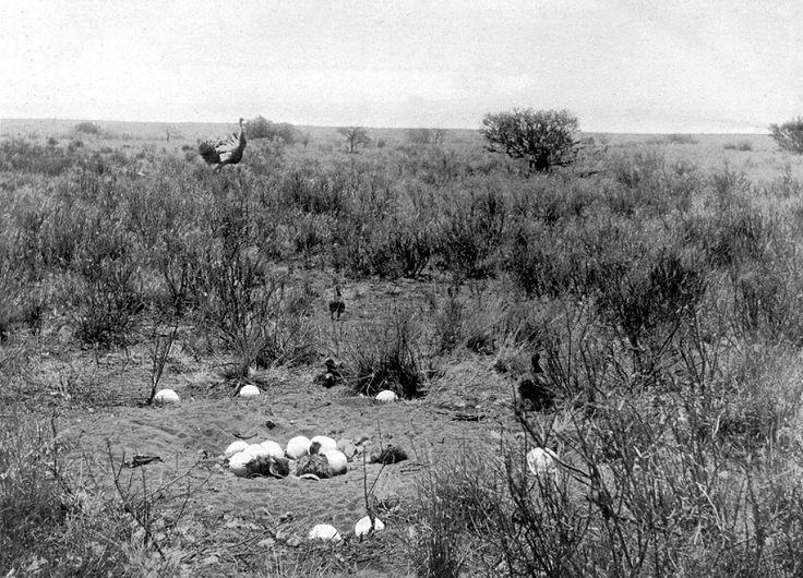 Nest of the Wild Ostrich, Oudtshoorn   Flickr - Photo Sharing!