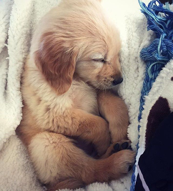ITS LIKE A BABY OMG I need this dog #welovegoldens by goldenretrievers_