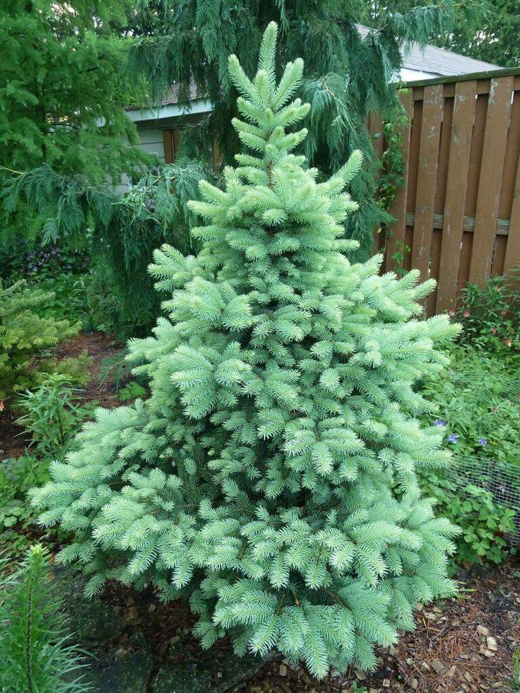 Picea pungens 'Walnut Glen'