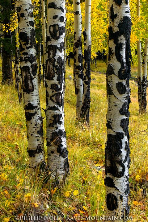 Autumn, Aspen, Los Alamos, Camp May, New Mexico, NM
