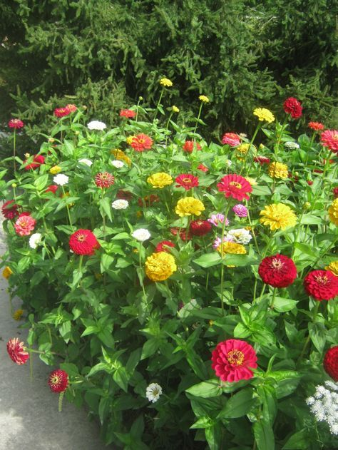 I love zinnias. It's true they are easy to grow from seed, but wait until it's warm enough.