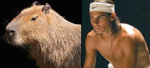 staring capybara