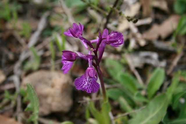 orchidea selvaggia 3