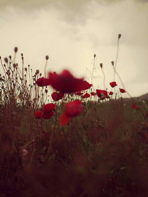 Poppy in Pella. Greece.