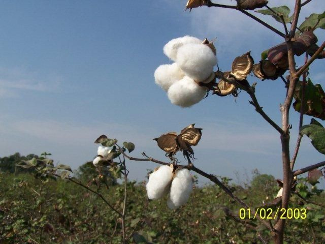 Learn how to grow cotton at home indoors or in your garden outdoors. Grow cotton from seed for gardening, science projects and farming.