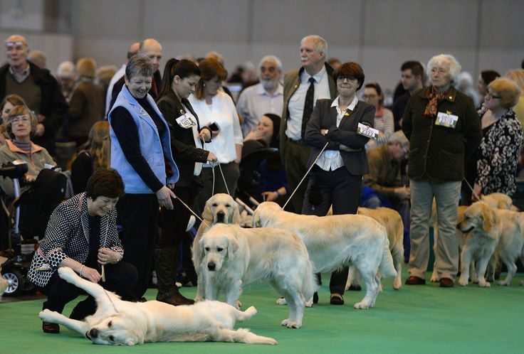 Retrievers in the show ring.  photos of pooches preparing for their big moment at Crufts, the world's largest dog show