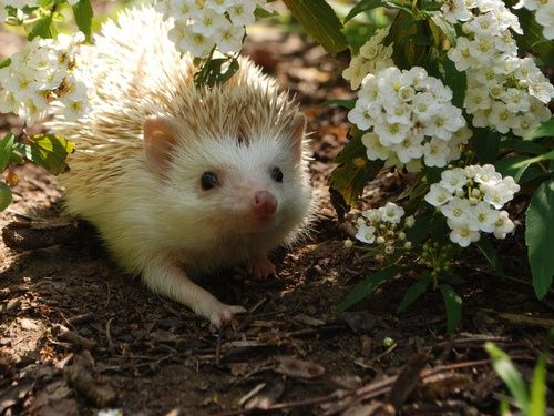 What a lovely little hedgie!