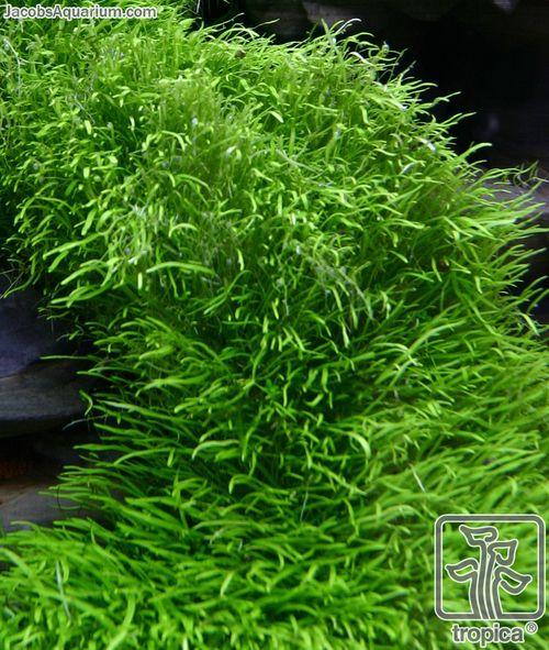 325 best images about aquariums plants on pinterest for Pond grass plants