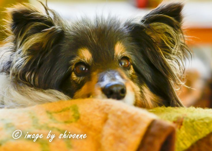 #sheltie #dog  Esther the Sheltie with her 'I just woke up look on her face'