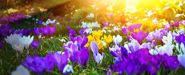 Colorful crocuses in the sun stock photo