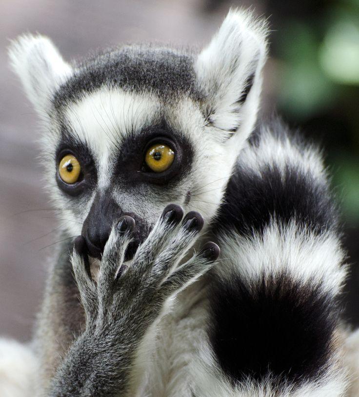 Close up portrait of a ringtailed lemur, taken in Copenhagen zoo.