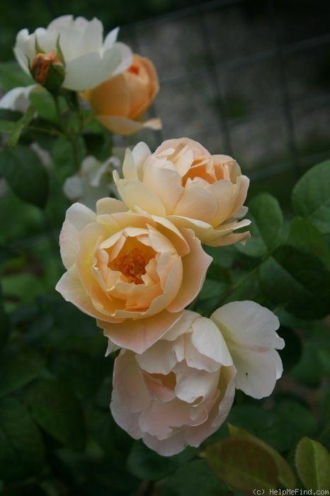 'Comtes De Champagne' | Shrub. English Rose Collection. David C. H. Austin, 2001