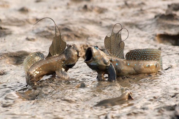 Mudskippers are completely amphibious fish fish that can for Fish that walk on land