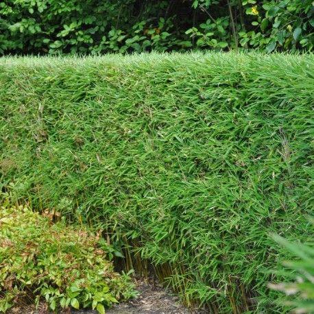 Bambou - Fargesia Murielae Jumbo