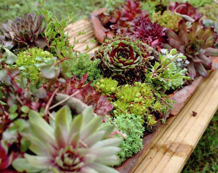 Top 4 specii de plante suculente rezistente la frig