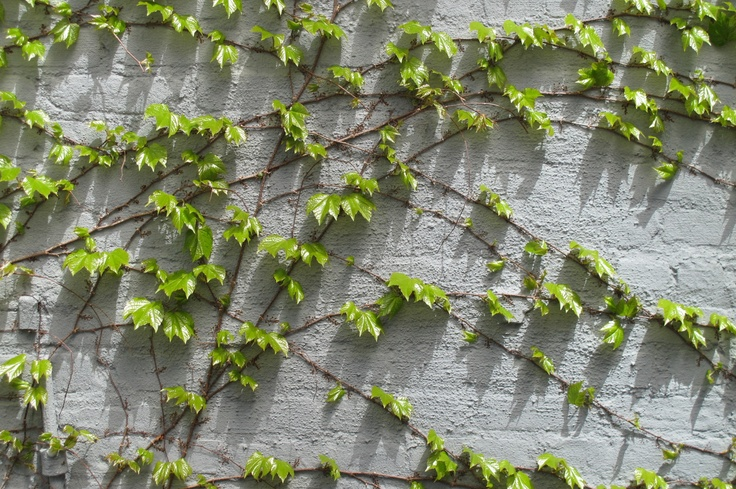 Boston Ivy on the High Line ~ NYC