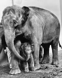Packy was the first elephant born in captivity in the world in