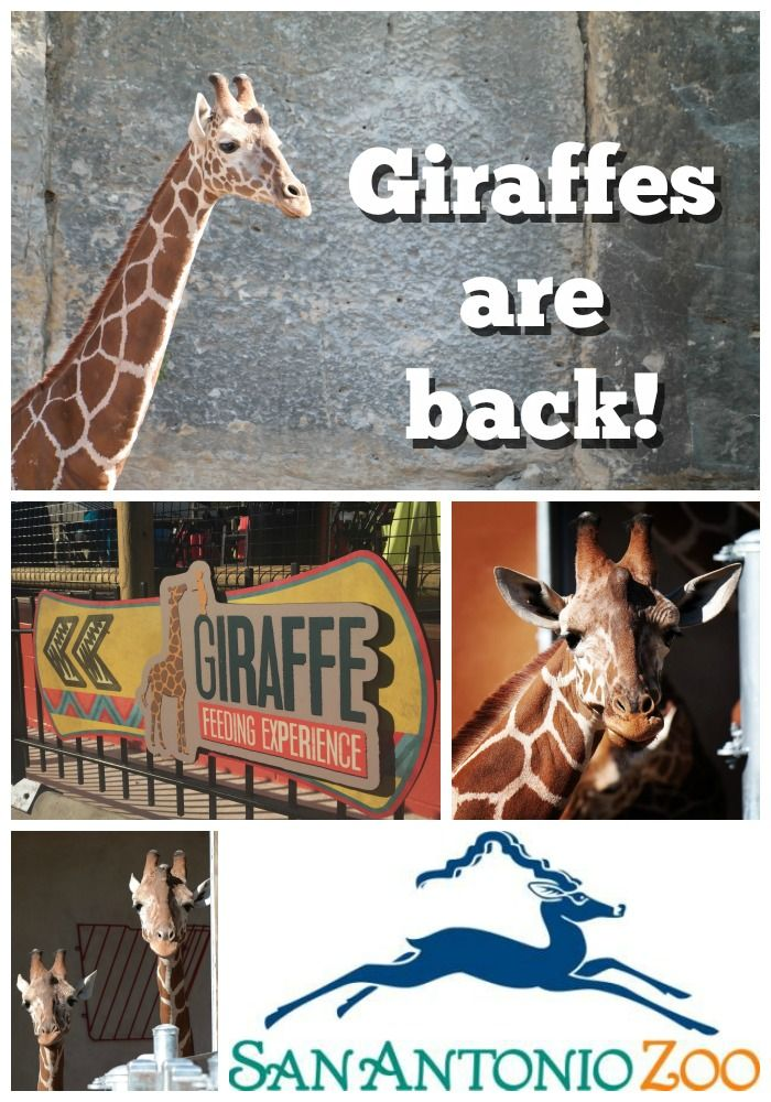 Giraffes Are Back At The San Antonio Zoo The O 39 Jays