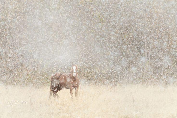 Snowy+horse+(Снежная+лошадь)+-+Snowy+horse+and+snowfall+(Russia,+Siberia,+Altay). Лошадь+и+снегопад+-+случайный+снимок.+Возвращался+со+съёмок+рассвета,+за+пару+километров+от+дома+начался+снегопад,+первый+в+том+году.+Сквозь+снежную+пелену+и+шипение+тающих+снежинок+услышал+ржание.+Я+сделал+снимок+и+пошёл+дальше,+а+она+продолжала+смотреть+мне+вслед...+Определённо+смотрела+-+ощущал+на+спине+её+печальный+взгляд.